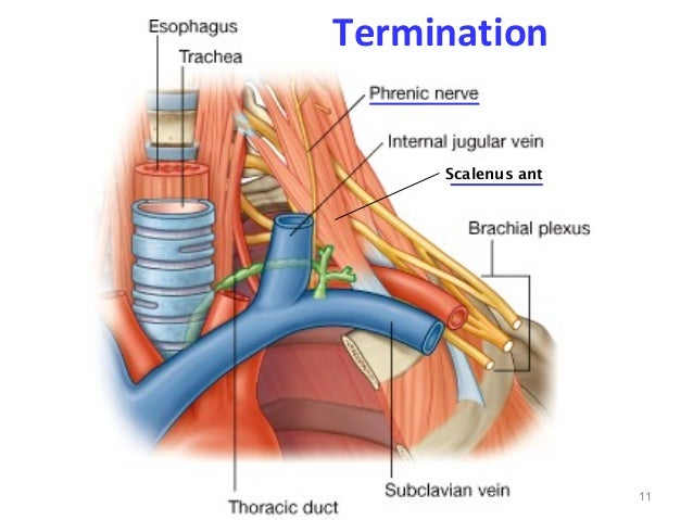 1000  images about Anatomy (Lipid Lift) on Pinterest | Thoracic ...