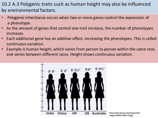 how polygenic traits produce the appearance of blending inheritance essay Chapter 11 study play blending pattern of inheritance in which a trait is controlled by several •parents contrasting appearance will produce offspring of.