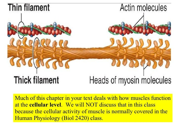 10 Muscle Tissue And Organization