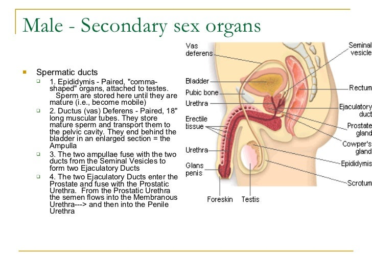 where are the sex organs of a turkey