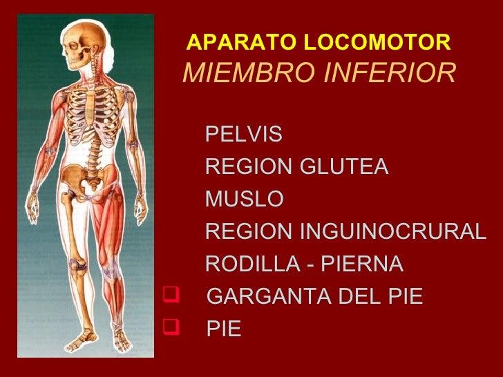 APARATO LOCOMOTOR MIEMBRO INFERIOR <ul><li>PELVIS  </li></ul><ul><li>REGION GLUTEA </li></ul><ul><li>MUSLO </li></ul><ul><...