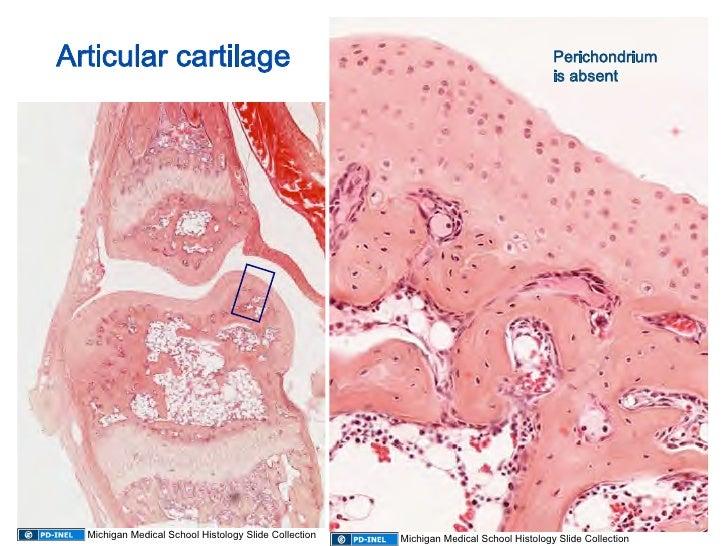 10.08.08: Histology - Cartilage/Mature Bone