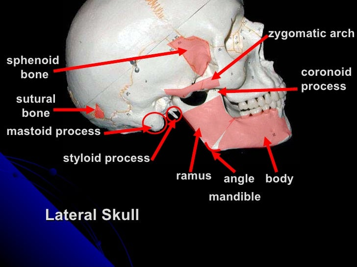 5159461 further Digestive System 33461342 likewise 7566821 in addition PrinterFriendlyViewPack as well 104112 Axialskeletontutorialskull 5192495. on ventral body cavity