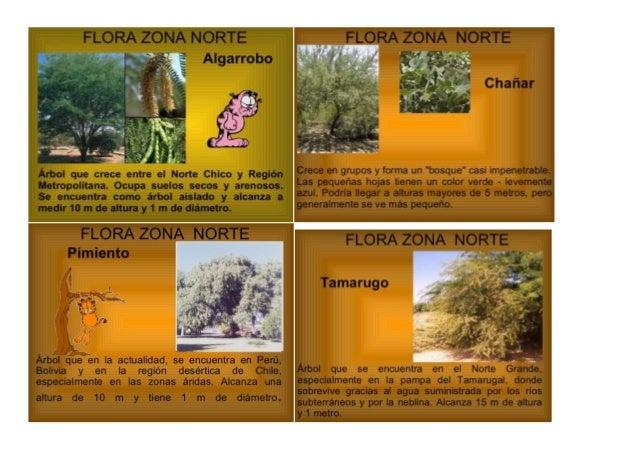 FLORA ZONA NORTE Algarrobo      Metropolitana.  Ocupa suelos secos y arenosos.  Se encuentra como árbol aislado y alcanza ...