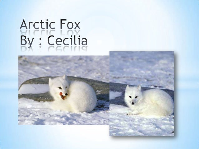 #10 arctic fox
