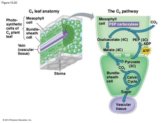 Leaf anatomy of c3 c4 and cam plants