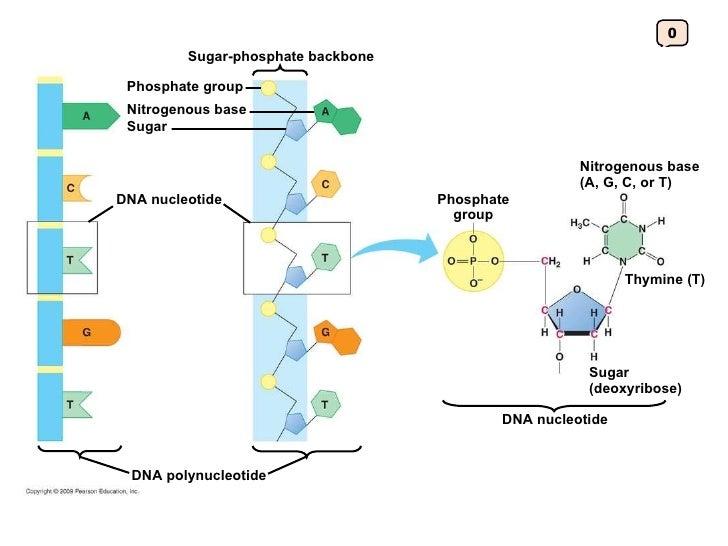 Dna Model Nitrogen Bases Nitrogenous Base Sugar Dna