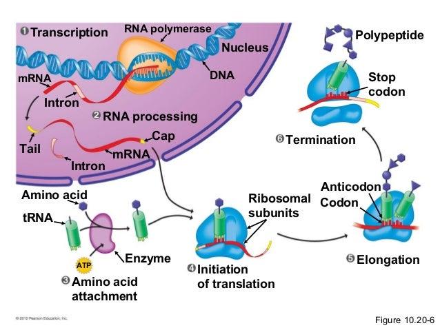 dna transcription diagram labeled   Diarra