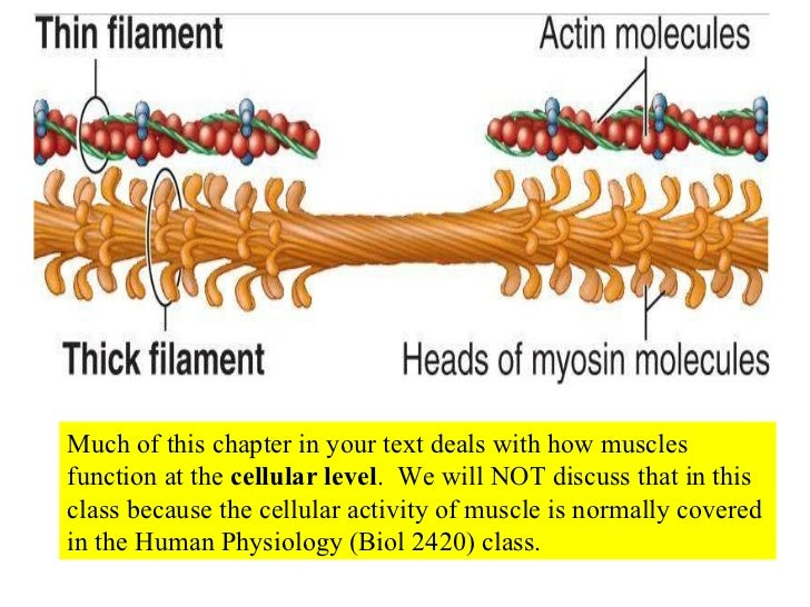 Much of this chapter in your text deals with how muscles function at the  cellular level .  We will NOT discuss that in th...