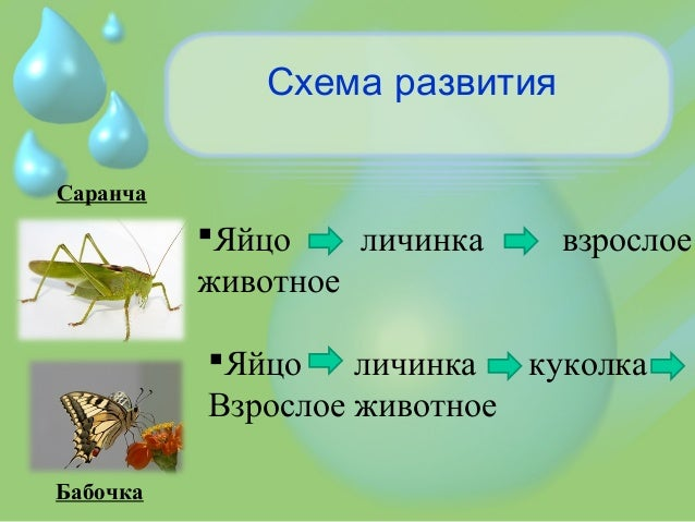 Схема развития Саранча Бабочка