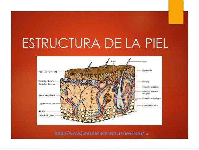 ESTRUCTURA DE LA PIEL http://www.juntadeandalucia.es/averroes/ 1