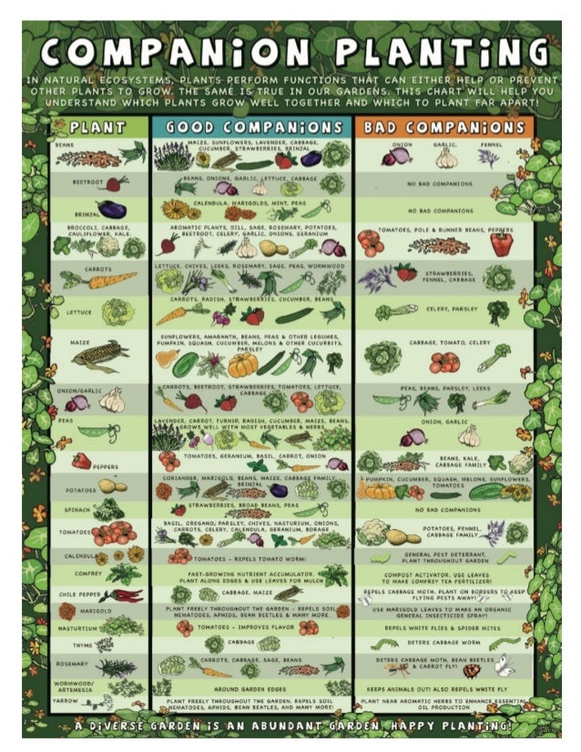 COMPANION Companion                             Planting INCREASES FoodProduction by 250 PercentOne of the goals of resear...