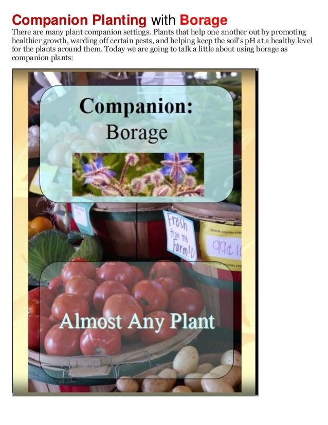 Companion Planting with Borage