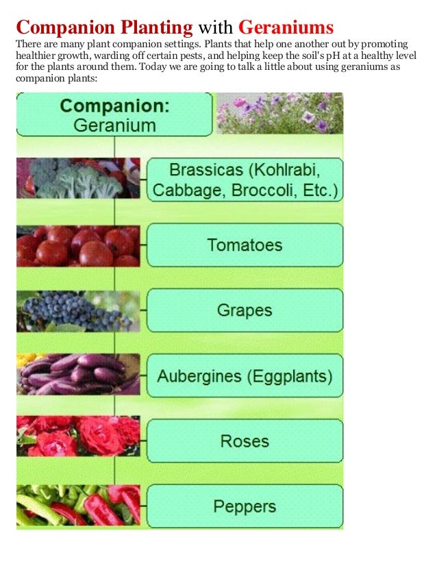 Companion Planting with GeraniumsThere are many plant companion settings. Plants that help one another out by promotinghea...