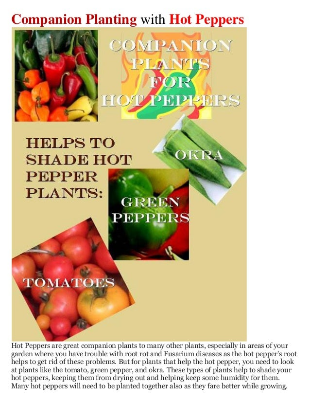 Companion Planting with Hot PeppersHot Peppers are great companion plants to many other plants, especially in areas of you...