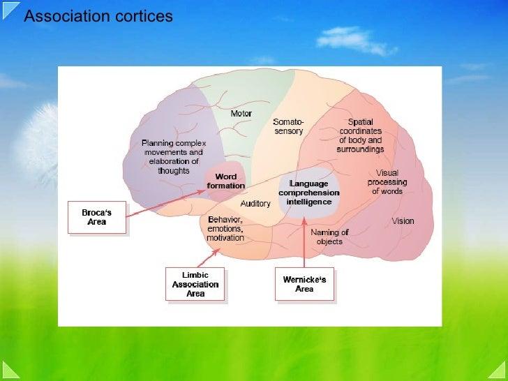 Association cortices