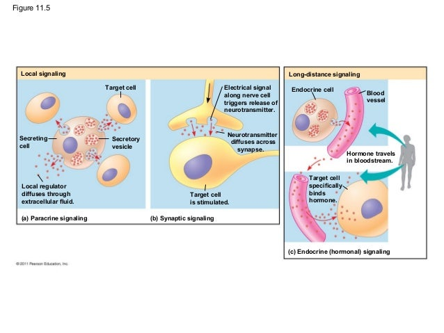 secretory vesicles animal cell