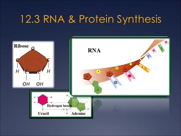 12.3 DNA - RNA - Amino Acid - Protein