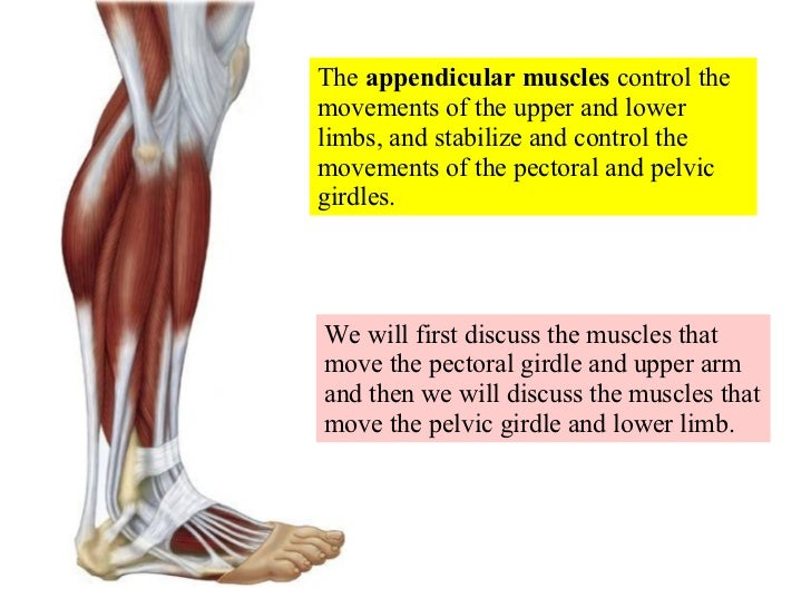 The  appendicular muscles  control the movements of the upper and lower limbs, and stabilize and control the movements of ...