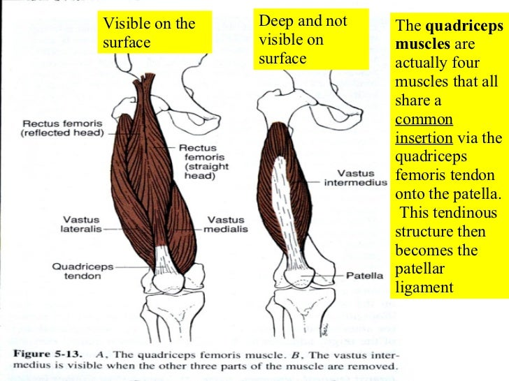 Quadriceps Muscles Axial The Quadriceps Muscles Are
