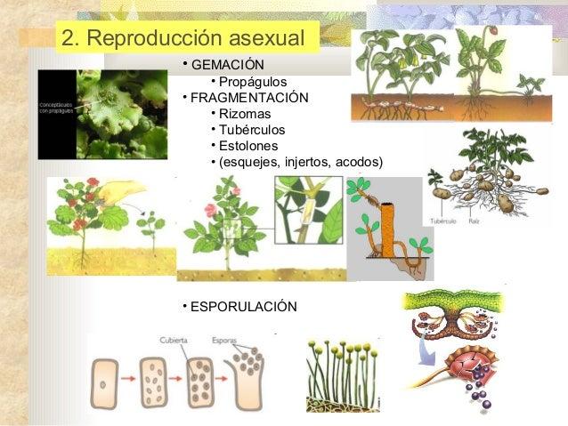 12 reproducción vegetal ppt