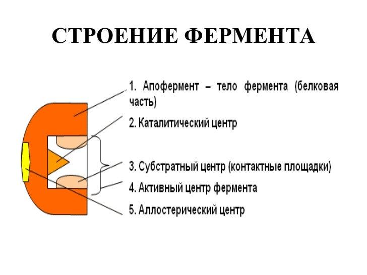 СОСТАВ СЛОЖНОГО ФЕРМЕНТА; 3.