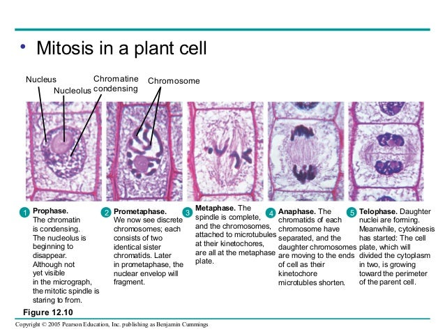 mitosis on plant cells Name _____ observing mitosis lab background: in a growing plant root, the cells at the tip of the root are constantly dividing to allow the.