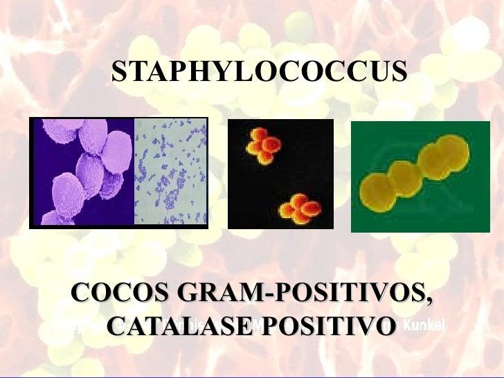 STAPHYLOCOCCUSCOCOS GRAM-POSITIVOS,  CATALASE POSITIVO                        1