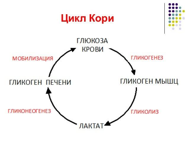 метаболизма; 29. Цикл Кори