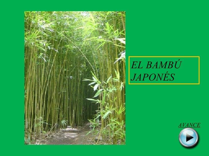 EL BAMBÚ JAPONÉS AVANCE