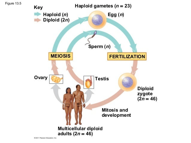 13 Meiosis And Sexual Life Cycles on Animal And Plant Cells Worksheet
