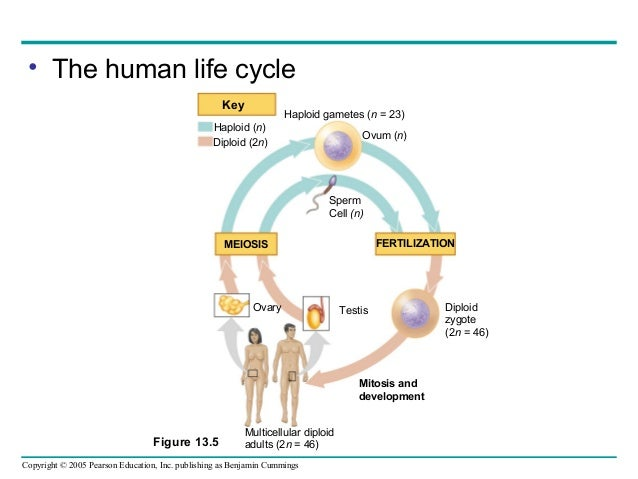 Human life cycle meiosis - photo#2