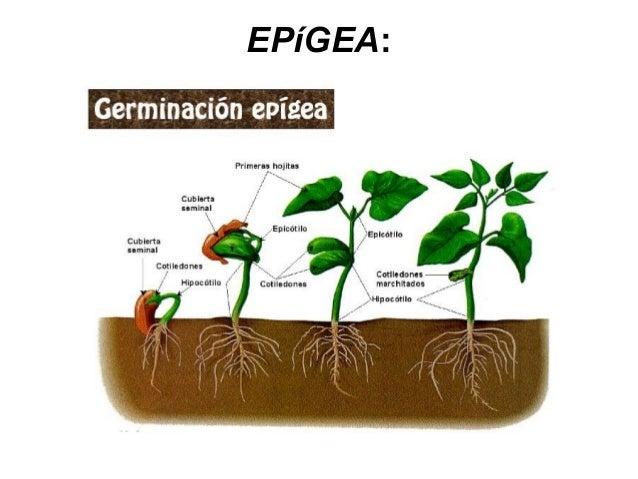 Proceso De Germinacion Del Cafe