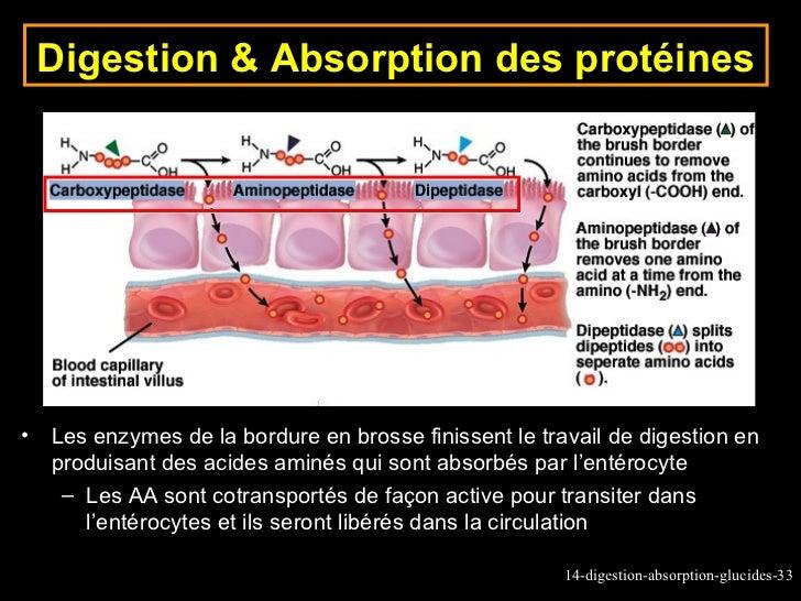 protein digestion