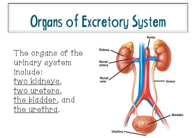 Excretory system diagram unlabeled