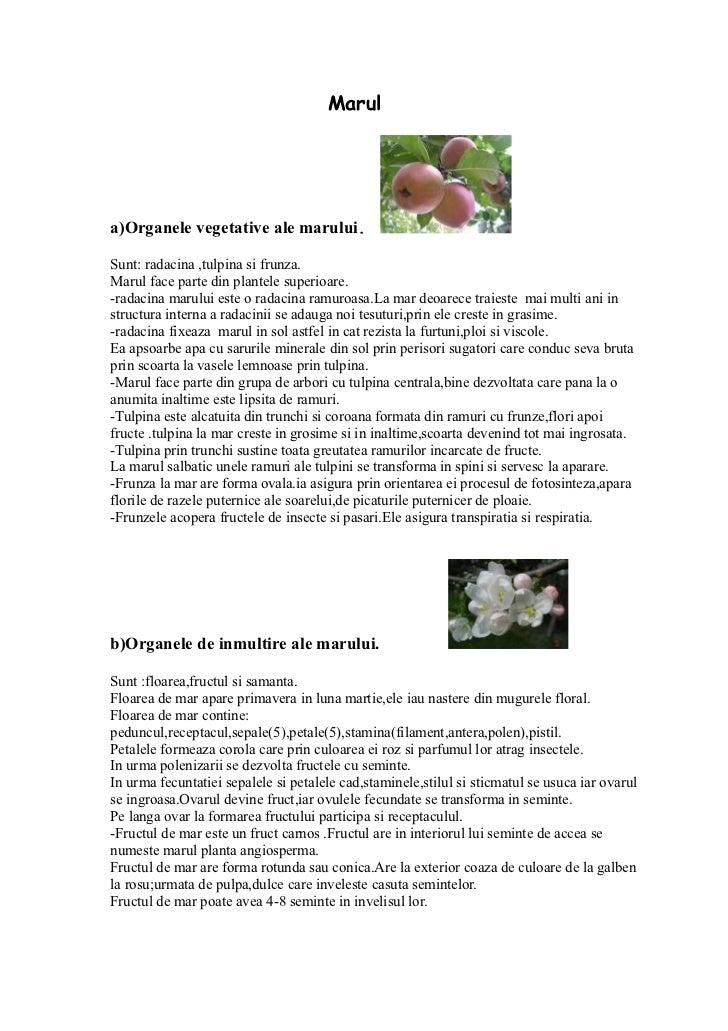 Marula)Organele vegetative ale marului.Sunt: radacina ,tulpina si frunza.Marul face parte din plantele superioare.-radacin...