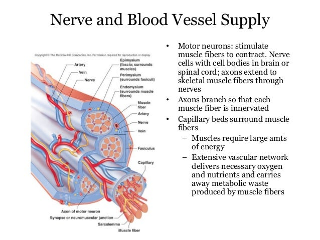 blood supply to the muscles Acute effects of blood flow restriction on muscle activity and endurance during  activity and endurance during fatiguing  muscle, skeletal/blood supply.