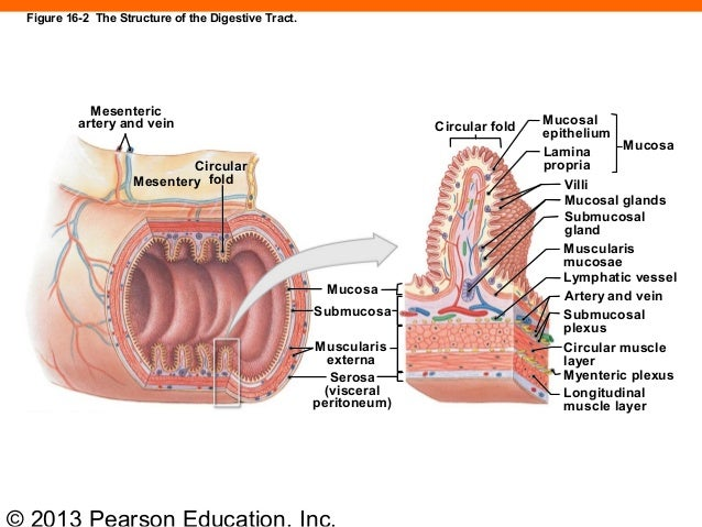 Peritoneum Clinical Anatomy 3341197 also Detail 1 further 4511142 further Enteric nervous system further Rola Andony Hanania. on serous membrane function
