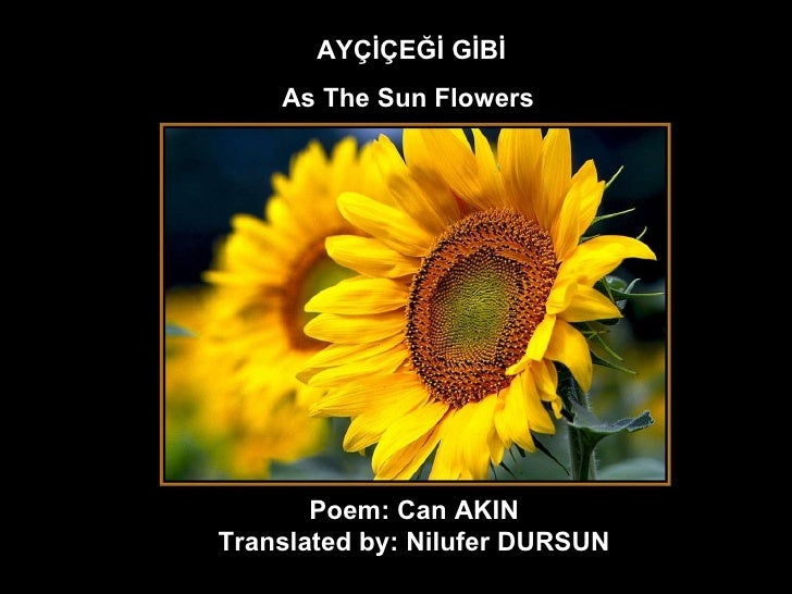 AYÇİÇEĞİ GİBİ As The Sun Flowers   Poem: Can AKIN  Translated by: Nilufer DURSUN