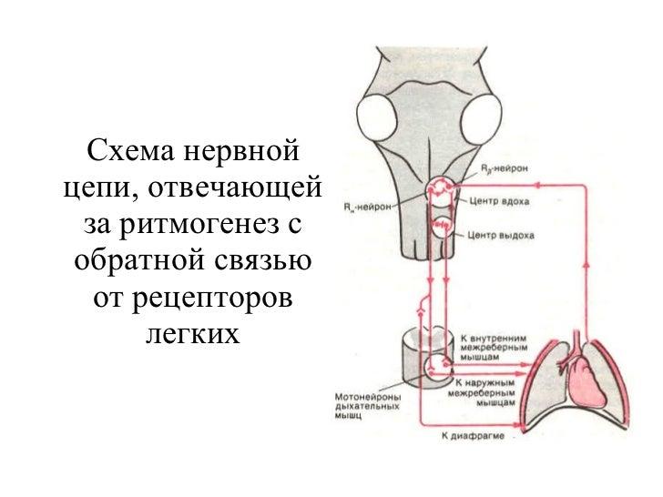 Схема нервной цепи, отвечающей