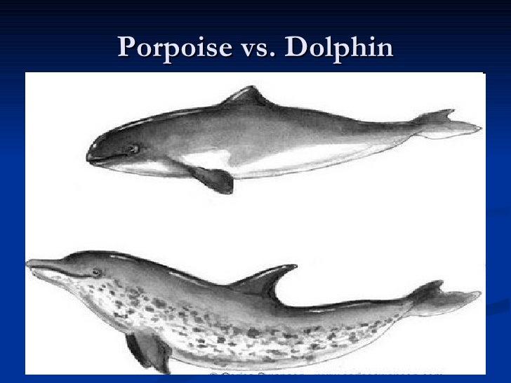 Porpoise teeth vs dolphin teeth - photo#1