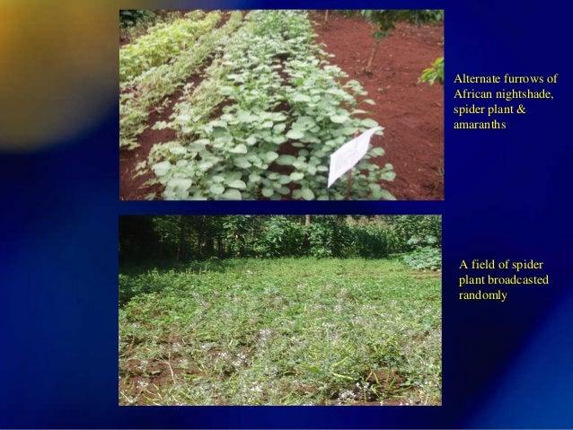 African Spider Plant Spider Plant Amaranths a