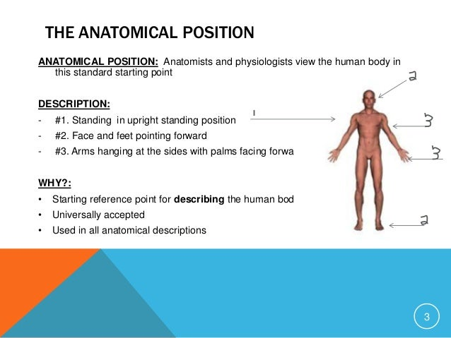 Human anatomy positions