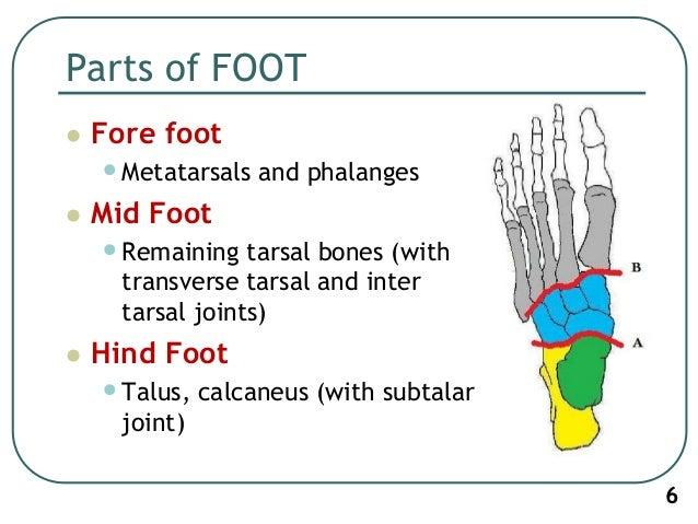 Anatomy of tibia and fibula