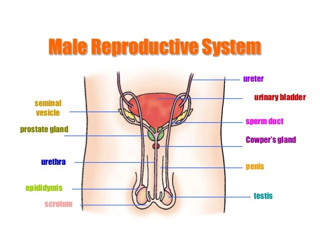 Male sexual organ anatomy