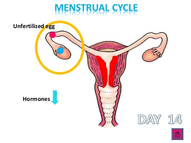 24 day menstrual cycle