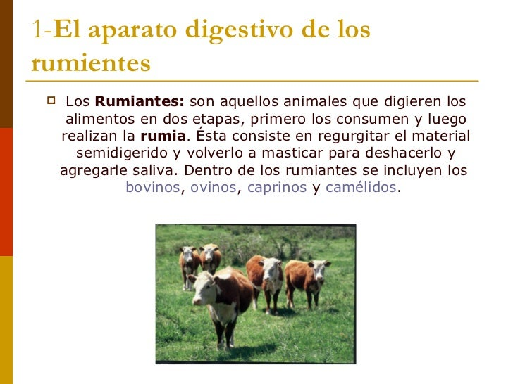 1- El aparato digestivo de los rumientes <ul><li>Los  Rumiantes:  son aquellos animales que digieren los alimentos en dos ...
