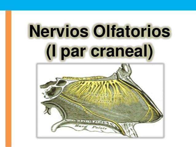 Nervios Olfatorios(I par craneal)