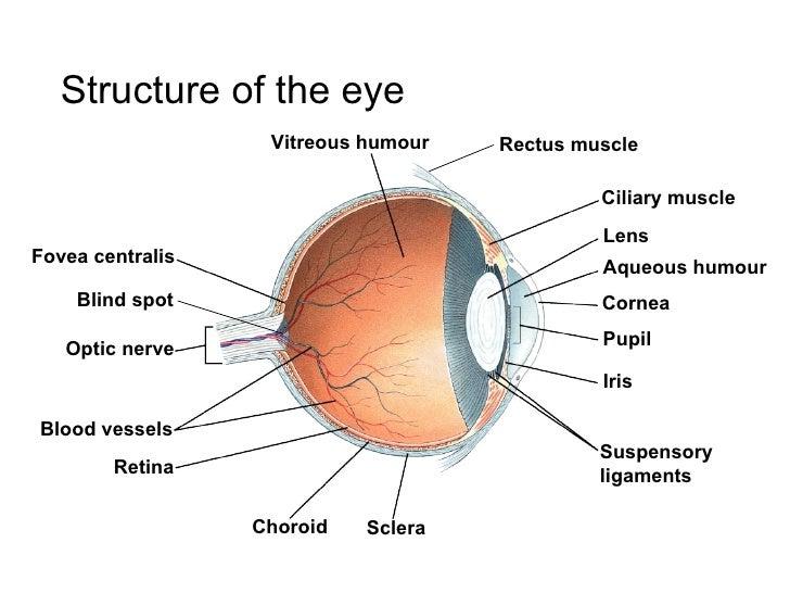 Human Eye Muscle Craftbrewswagfo
