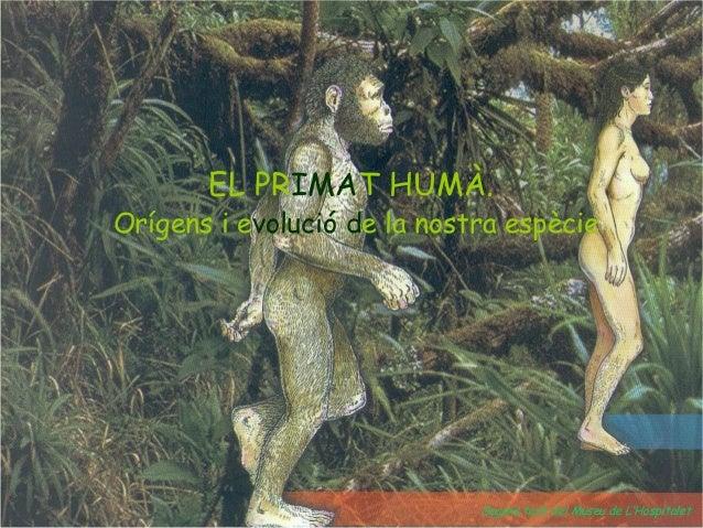EL PRIMAT HUMÀ. Orígens i evolució de la nostra espècie Segons text del Museu de L'Hospitalet